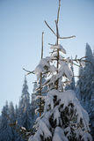Pine tree forest background covered with fresh snow Royalty Free Stock Images