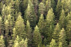 Pine tree forest background stock image