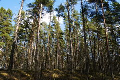 Pine tree forest. Beautiful pine tree Latvian forest in summer Royalty Free Stock Photos