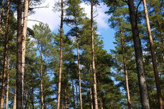 Pine tree forest. Beautiful pine tree Latvian forest in summer Royalty Free Stock Photo