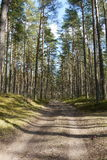 Pine tree forest. Beautiful pine tree Latvian forest in summer Stock Photography
