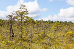 Pine tree forest Stock Photography