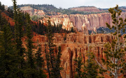 Pine Tree Forest of Bryce Canyon. Tall Pine Trees surround the rims of Bryce Canyon National Park in Utah Royalty Free Stock Image