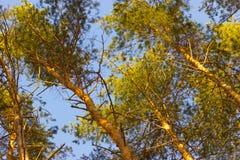 Pine tree close up stock photo