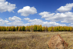 Pine tree forest with cloudy sky in autumn. Grassland and pine tree in inner mongolia in autumn stock image