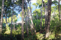 Pine tree forest on the coast. Mallorca, Balearic Islands in Spain Stock Photos