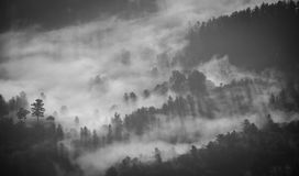 Pine Tree Forest Covered With Fog Royalty Free Stock Photography