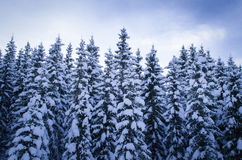 Pine tree forest covered with snow Stock Photo