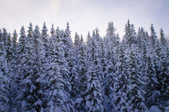 Pine tree forest covered with snow Royalty Free Stock Photo