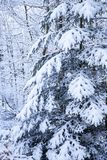 Single pine tree covered with snow in the forest Stock Image