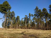 Pine tree forest pine tree cultivation Europe. Pine tree forest cultivation europe nature sun day royalty free stock photography