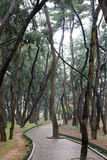 Pine tree forest and curved path Royalty Free Stock Image