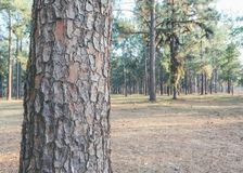 Pine tree forest on day time . Vintage tone image of pine tree forest on day time for background usage Royalty Free Stock Photos