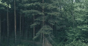 Pine Tree In The Forest. Descending Movement In Front Of Pine Tree In The Forest Cinematic Video stock video