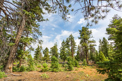 Pine tree forest with dry soil at Bryce Canyon. Pine tree forest with dry soil at cloudy sky background, Bryce Canyon National Park, Utah USA stock photo