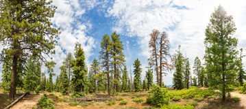 Pine tree forest with dry soil at Bryce Canyon Stock Photos