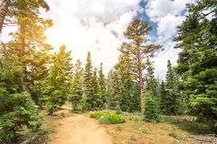 Pine tree forest with dry soil at Bryce Canyon Stock Photo