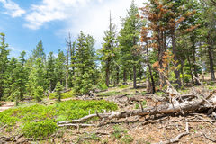 Pine tree forest with dry soil at Bryce Canyon. Pine tree forest at sunny day, Bryce Canyon National Park, Utah USA royalty free stock image