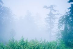 Pine tree in the forest with fog. Natural woodland stock photography