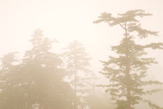Pine tree in the forest with fog Royalty Free Stock Image
