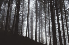 Pine tree forest with fog Stock Image