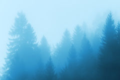 Pine tree forest in fog Stock Photography