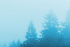Pine tree forest in fog. Monochromatic cold winter morning scenery Stock Photo