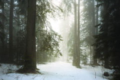 Pine tree forest fog Royalty Free Stock Image