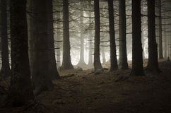 Pine tree forest with fog Stock Photography