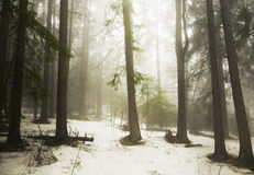 Pine tree forest fog Royalty Free Stock Images