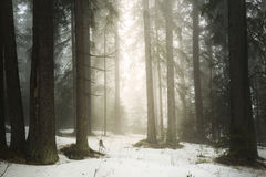 Pine tree forest fog Stock Photos