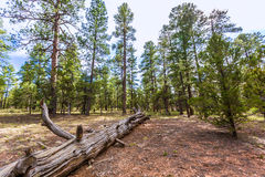Pine tree forest in Grand Canyon Arizona Royalty Free Stock Photo