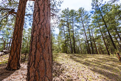 Pine tree forest in Grand Canyon Arizona Royalty Free Stock Photography