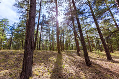 Pine tree forest in Grand Canyon Arizona Stock Photos