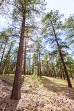 Pine tree forest in Grand Canyon Arizona Stock Photography
