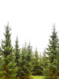Pine tree forest isolated on white