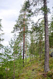Pine tree forest in Karelia, Finland Stock Photos