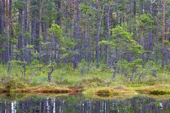 Pine tree forest. At a lake Stock Image