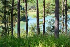 Pine tree forest with lake Royalty Free Stock Image