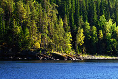 Pine-tree Forest on a Lake Shore Stock Photography
