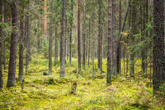 Pine tree forest landscape, Karelia, Russia Stock Photos