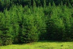 Pine tree forest. Landscape in Romania stock photo