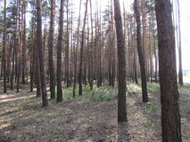 Pine tree forest. Light forest background Royalty Free Stock Photography