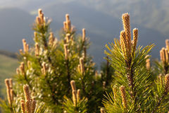 Pine Tree Forest in the Montains on a Nice Day Stock Images