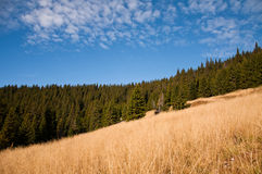 Pine tree forest in mountain. S. Photo taken in a beautiful sunny day of fall Royalty Free Stock Photo