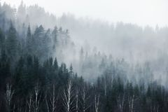 Forest on mountain in fog. Pine tree forest on mountain in fog royalty free stock photos