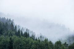 Pine tree forest on mountain in fog. Green pine tree forest on mountain in fog royalty free stock photo