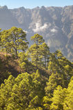 Pine tree forest and mountain. La Palma. Spain Royalty Free Stock Photography