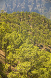 Pine tree forest and mountain. La Palma. Spain Royalty Free Stock Photos