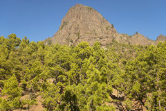 Pine tree forest and mountain. La Palma. Spain Royalty Free Stock Images